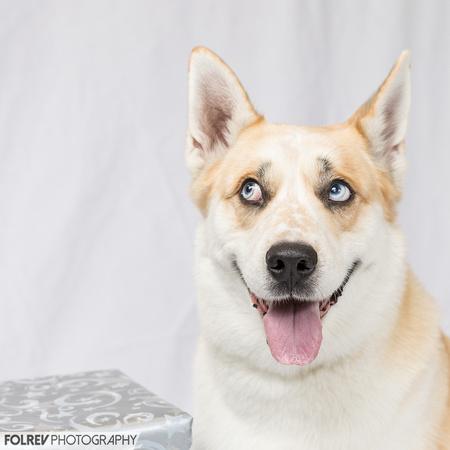 Buster, Husky mix dog  with blue eyes