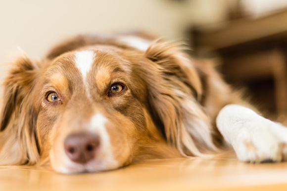 Pet photography of a tired dog