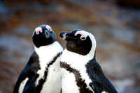 Cape Pinguins